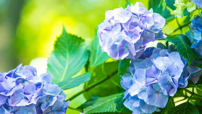 道路脇に咲く紫陽花